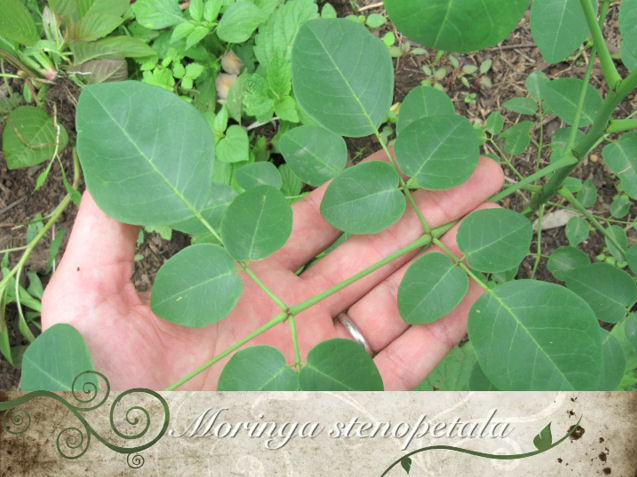 The Miracle Tree – A Guide to Cultivating the Moringa by Freddy Sawyer